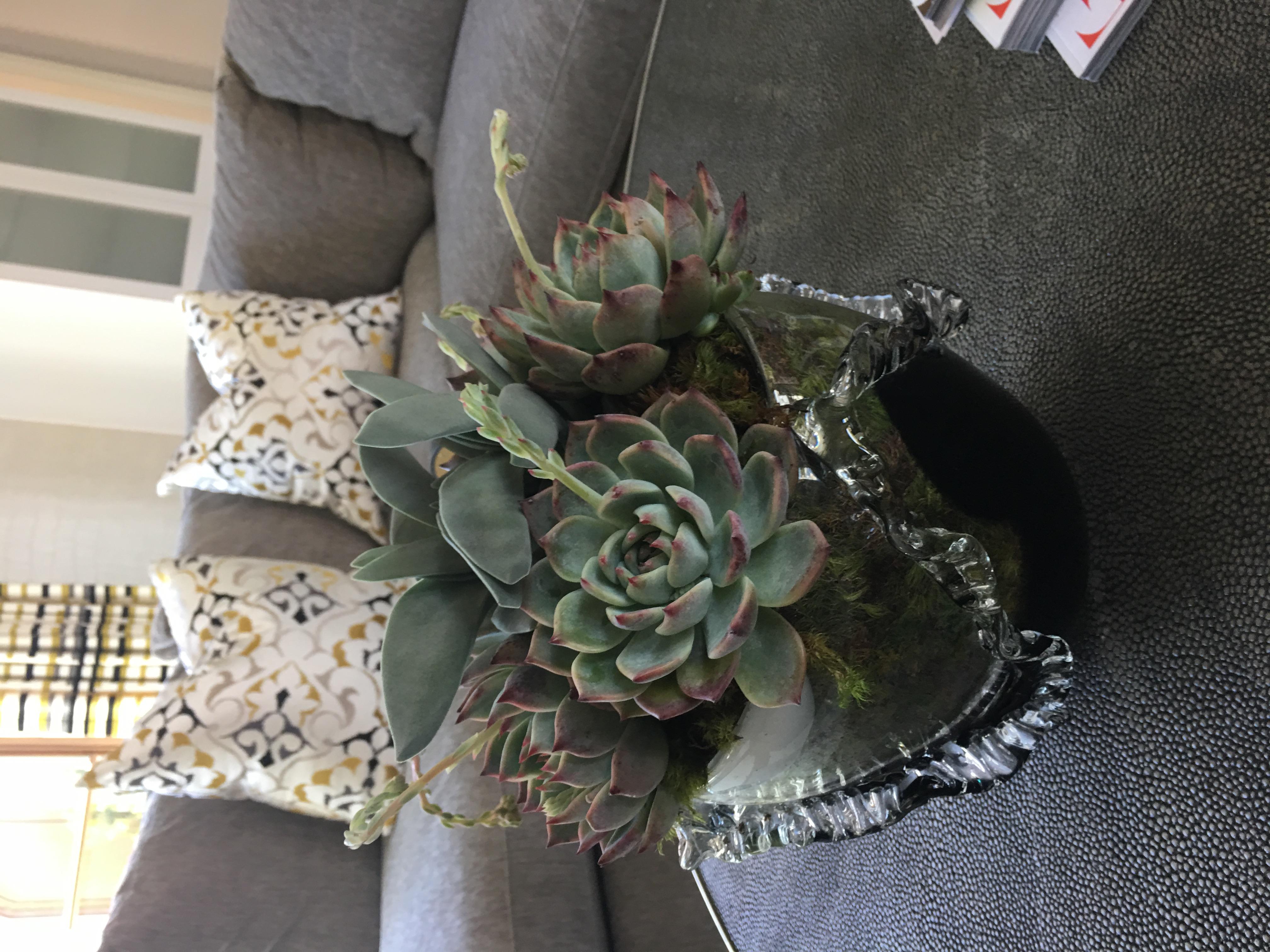 Darling Little Succelents Velene's Floral